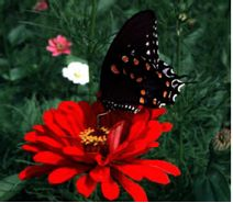Fact sheet on butterfly gardening. Lists of nectar plants and host plants. Good info!