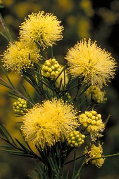 Melaleuca nodosa, commonly known as the prickly-leaved paperbark, is a shrub… Australian Wildflowers, Australian Native Flowers, Australian Plants, Yellow Flowers, Wild Flowers, Beautiful Flowers, African Plants, Australian Native Garden, Exotic Plants