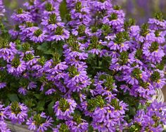 """Scaevola Paper Doll™ Top Model--Self branching clear blue flowers all season long. Best seller!      Loves full to part sun. Use in pots, baskets or as groundcover.      Super with red and pink flowers and chartreuse leaves. Plant Details:   Type:  Annual  Height:Up to  12"""" Spread:Up to  12""""  Color:Blue"""