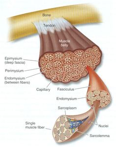 Diagram of muscle tissue. No wonder we are so strong! Look at all those fibers packed in there! I remember learning this in Anatomy and Physiology and nerding out :-) Muscle Anatomy, Body Anatomy, Anatomy Bones, Musculoskeletal System, Muscular System, Human Anatomy And Physiology, Medical Anatomy, Anatomy Study, Muscle Tissue