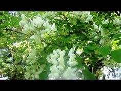 Акация Цветёт  Май  Полесье  Украина (Nature. Acacia. Locust) (+плейлист)