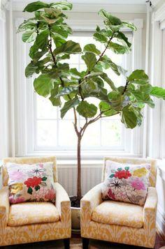 Eine Pflanze als Dekoration: Geigen-Feige für eine belebte Atmosphäre