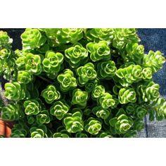 """Sedum spurrium """"Album"""" - Plante grasse, rosasses de feuilles vert .  La plante…"""