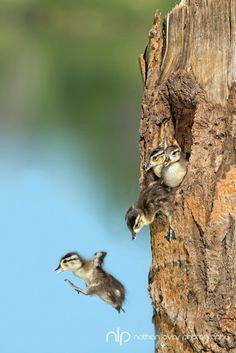 Wood ducklings leaving their nest.