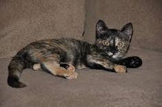 This is a tortie