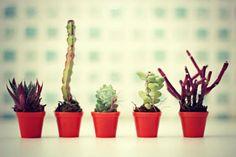 mini suculentas  plantinhas  plantas