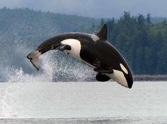 Canada, l'eleganza dell'orca: show in acqua
