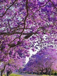 Grafton Jacaranda Festival, Austria, Flower, Purple, superb viwes