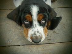 basste hound puppy