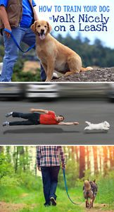 Do you sometimes feel like your dog is the one walking you? Does walking your dog sometimes seem like a battle of wills (and strength) between you and a very determined four-legged friend? Dogs very rarely...