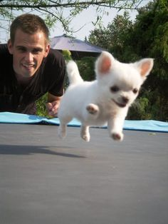 In case you're having a bad day, here's a Chihuahua puppy on a trampoline!