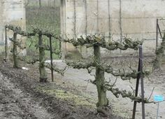 Properly espaliered apple trees from Versailles. #DwarfFruitTreeOrchard