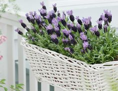 Lavender … fragrance and color 365 days a year – Nature Beauties French Lavender, Lavender Blue, Lavender Fields, Lavender Flowers, Greek Flowers, All About Plants, Lavandula, Tree Forest, Flowering Trees