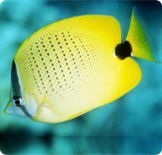 Lemon Butterflyfish, Milletseed Butterflyfish - Chaetodon miliaris