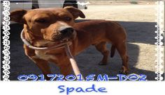***SUPER SUPER URGENT!!!*** - PLEASE SAVE SPADE!! - EU DATE: 10/30/2015 -- Spade (09172015m-D02) Breed:American Staffordshire Terrier (mix breed) Age: Adult Gender: Male Size: Large Special needs: hasShots, Shelter Information: Delano Animal Shelter 1525 Mettler Avenue  Delano, CA Shelter dog ID: 09172015M-D02 Contacts: Phone: 661-721-3377 Name: Delano Animal Control email: SHELTER661@GMAIL.COM  Read more at http://www.dogsindanger.com/dog/1442860015752#eOltZsXqAyt0jckk.99