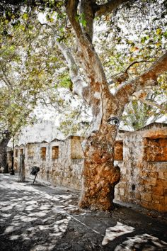 eyed tree in Rodos, Old Town