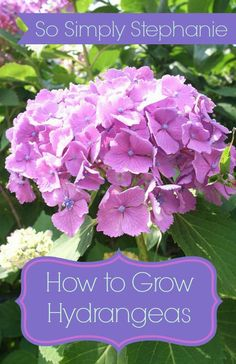 How to Grow Hydrangeas Tutorial for everything you need to know about growing hydrangeas including water, soil and light requirements, propagation and how to change the colors. Plus, some beautiful images, too! - New Sensations Garden Planting Flowers, Plants, Growing Hydrangeas, Lawn And Garden, Beautiful Flowers, Plant Care, Outdoor Gardens, Flowers, Beautiful Gardens
