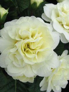 belarina primula vulgaris necterine | Primula Belarina Cream