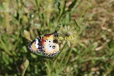 """Dieser Schmetterling """"Kleiner Monarch"""" wurde im Northern Territory gesichtet."""