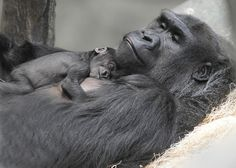 Koola, an 18-year-old western lowland #gorilla, gave birth to a female at…