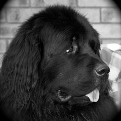 My Newfoundland :)  Love big, pretty heads.  Miss my boys.