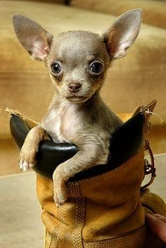 25 Cool Chihuahua Pictures #dog #chihuahua #petshirt http://www.sunfrogshirts.com/LewandoskiBayerShop/FireFighter?7833