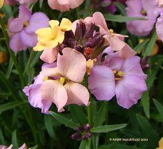 Perennial Wallflower 'Pastel Patchwork'  Erysimum