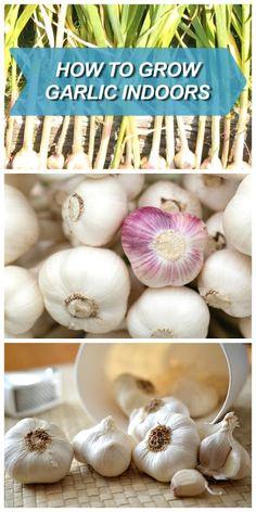 Grow garlic in containers indoors handy & homemade garlic growing indoo Indoor Vegetable Gardening, Container Gardening, Herb Gardening, Growing Herbs, Growing Vegetables, Grow Garlic, Planting Garlic, Inside Plants, Kitchen Herbs