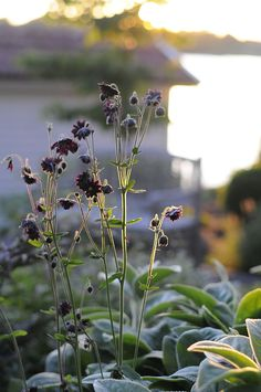 svart akleja