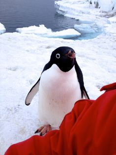 I was sitting on sea ice when I heard a little peep over my shoulder.