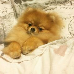 Pomeranian dogs and puppies Pomeranian Facts, Pomeranian Breed, Cute Pomeranian, Pomeranians, Baby Chihuahua, Cute Puppies, Cute Dogs, Dogs And Puppies, Doggies
