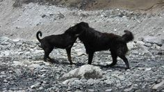 Goofy dogs play fighting at Everest Base camp Nepal
