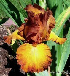 Výsledek obrázku pro indian caper iris