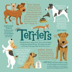 Time to teach your guests a thing or two about those tough, tireless, tenacious terriers! Our Terriers Vol. 1 infographic pictures six terrier breeds, each one Terrier Breeds, Airedale Terrier, Bull Terrier Dog, Dog Breeds, Terrier Mix, Weimaraner, Blue Merle, Perros Rat Terrier, Feline Leukemia