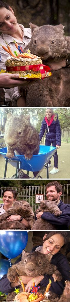 Patrick the world's oldest wombat celebrated his birthday at Ballarat Wildlife Park over the weekend, and has resorted to Tinder in the hopes of finding a special lady. Animals And Pets, Baby Animals, Funny Animals, Cute Animals, Wild Creatures, All Gods Creatures, Beautiful Creatures, Animals Beautiful, Cute Wombat