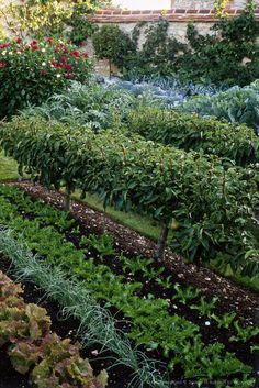 formal walled vegetable garden with cabbage, cardoon and espalier pear, august rofford manor, oxfordshire