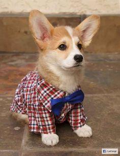 Geordi | The 25 Cutest Corgi Puppies Currently Online #bowtiesarecool