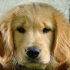#GoldenRetrieverPuppy