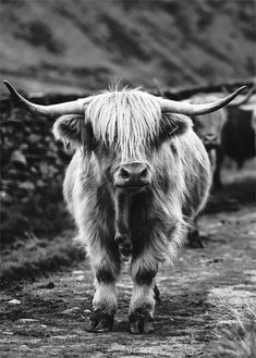 Buffalo Poster Highland Cow Print Printable Wall Art Animal Photography Black White Photography Buffalo Wall Art American Buffalo Decor cow Büffel Poster Highland Co. Art Photography Portrait, Animal Photography, Nature Photography, Portrait Art, Highland Cow Print, Highland Cattle, Fluffy Cows, Amazing Animals, Nature Posters