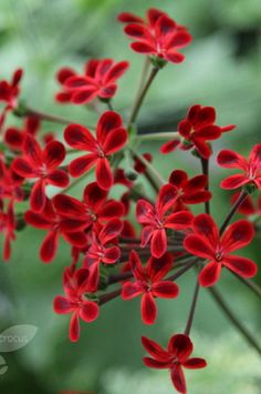 "Pelargonium -  'Ardens "" - Red and Green"