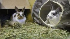 Two rabbits keeping each other company © Andrew Forsyth / RSPCA Photolibrary
