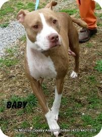 OUT OF TIME. I lost  alot of my friends today.  I am on the list next. Please save me. Madisonville, TN - Pit Bull Terrier Mix. Meet Baby a Dog for Adoption.