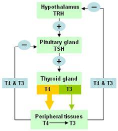 Thyroid pituitary axis