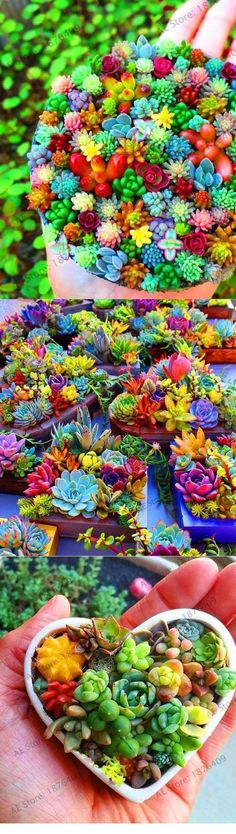 Grandma S Rainbow Delight Succulents 100 Seeds Grandma S Rainbow Delight Succulents 100 Seeds Rainbow Up My Friend Don T Be Afraid To Plant And Mix Colors These Are The T. Rainbow Succulent, Pink Succulent, Succulent Seeds, Succulent Gardening, Planting Succulents, Container Gardening, Flower Gardening, Succulent Gifts, Gardening For Beginners