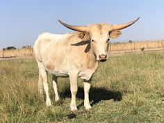 Miniature texas longhorn heifer, yellow and white or what they refer to as grulla.