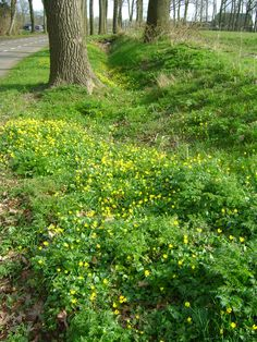 Celandine (Ranunculus ficaria subsp. bulbilifer), De Kraats, The Netherlands by S. v. Soest