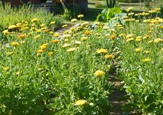 Calendula ( a medicinal herb ) gives my immune system a boost through the application of educated use and understanding.