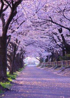 Túnel de flores de Cerezo en Japón.
