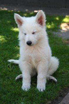 "White Swiss Shepherd Pup. Saw the cutest one a few days ago. (The dog character ""Bolt"" from the self-titled Disney animation is based on the American White Shepherd, a very close relative of the White Swiss Shepherds!"