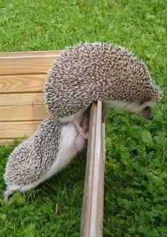 Hedgehog Looking For A Friend Cute Baby Animals, Animals And Pets, Funny Animals, Small Animals, Beautiful Creatures, Animals Beautiful, Baby Hedgehog, Huge Dogs, Tier Fotos